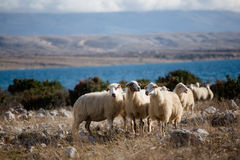 Group of sheeps on a meadow. Group of sheeps on island Pag on a pasture Stock Photo