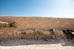 Group of sheeps running in Morocco Royalty Free Stock Images