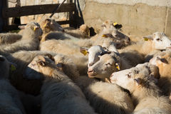 Group of sheeps in a sheepfold Stock Photo