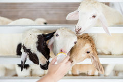 A group of sheeps are trying to get feeded. Milk feeding for Stock Photos