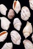 Group of she shells of marine snails isolated on black background Stock Images