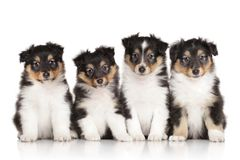 Group of Shelti puppies Stock Photography