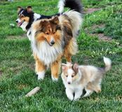 Sheltie family out for a romp in the yard. stock photo