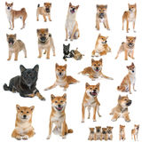 Group of shiba inu. In front of white background Royalty Free Stock Photography