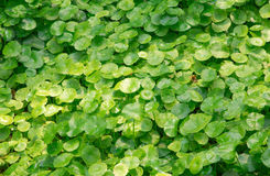 Group of Shield Pennywort. Group of Shield blade Pennywort Royalty Free Stock Photo