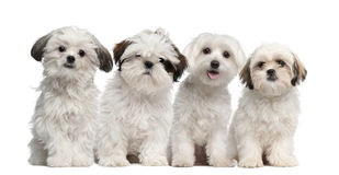 Group of Shih Tzu and Maltese puppy sitting. And looking at camera against white background Stock Photography