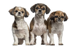 Group of Shih Tzu (3 years old) Royalty Free Stock Photos