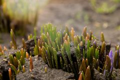 A group of shoots of Crocus flowers sprout on a flowerbed stock photo