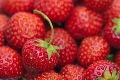 Group shot close up of strawberries. Freshly picked strawberries macro detail royalty free stock photo