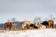 Group Shot of Longhorn Steers on Snow Covered Field Royalty Free Stock Photo