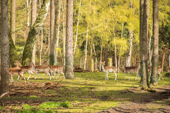 Group shy wild animals are in the woods and watch the area. Fall Royalty Free Stock Images