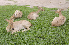 A group of Siamese Eld's deer (Cervus eldi) Royalty Free Stock Photography