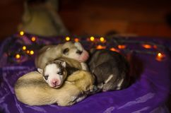 Group of Siberian husky puppies on bokeh background stock photography