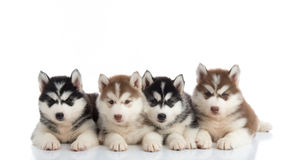Group of Siberian husky puppies. In front of white background stock photography