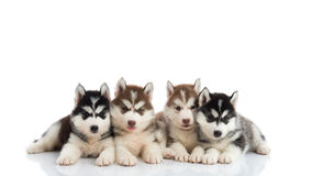 Group of Siberian husky puppies. In front of white background royalty free stock image