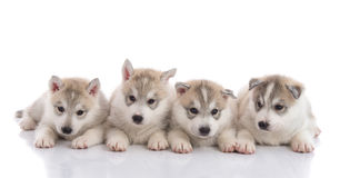 Group of Siberian husky puppies in front of white background. Isolated royalty free stock photo