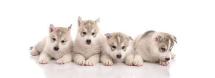 Group of Siberian husky puppies in front of white background. Isolated stock image