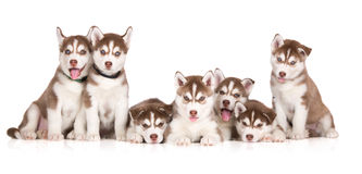 Group of siberian husky puppies posing on white Royalty Free Stock Images