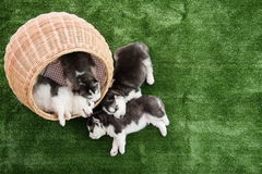 Group of siberian husky puppies sleeping Stock Photography