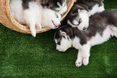 Group of siberian husky puppies sleeping Stock Photos