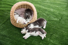 Group of siberian husky puppies sleeping Royalty Free Stock Photos
