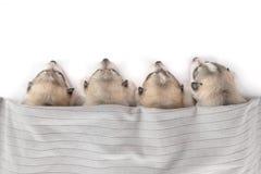 Group of siberian husky puppies sleeping Stock Image