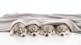 Group of siberian husky puppies sleeping Royalty Free Stock Images