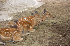 Group of sika deer in the zoo,Thailand stock photo