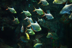Group Silver barb fish Royalty Free Stock Images