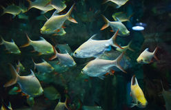 Group Silver barb fish Stock Photography