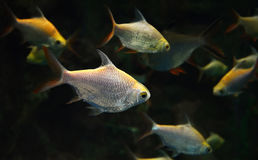 Group Silver barb fish Royalty Free Stock Photography