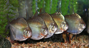 Group of silver dollar fishes. Group of silver dollar fish swimming next to each other. (Metynnis argenteus Stock Photography