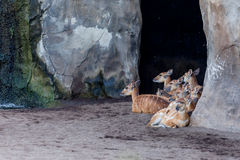 Group of sitatunga Stock Images