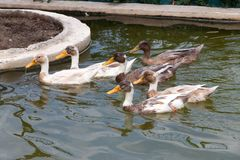 A group of six ducks swimming on a pond royalty free stock images