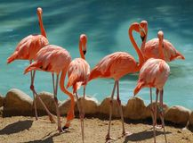 A group of six flamingoes Royalty Free Stock Image