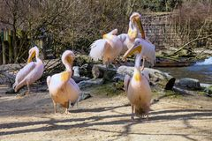 A group of six Great White Pelican, Royalty Free Stock Photography