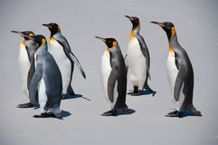 Group of Six King Penguins on the Beach Stock Image