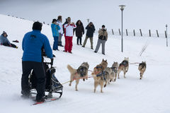 A group of sled dogs during the training Royalty Free Stock Photo