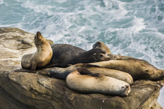 A group of sleeping sea lions on a cliff by the ocean Royalty Free Stock Image