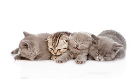 Group of sleepy british shorthair kittens. isolated Stock Image