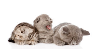 Group of sleepy british shorthair kittens. isolated on white Stock Photo