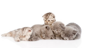 Group of sleepy british shorthair kittens. isolated on white Stock Photos