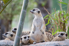 Group of Slender-Tailed Meerkat Stock Image