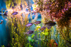 A group of small aquarium fish in a big aquarium. Aquarium fish. A group of small aquarium fish in a big aquarium. Several of aquarium fish and aquarium plants Stock Photo