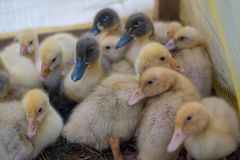 Group of babies ducks locked in the pound. Group of small babies ducks locked in pound at the farm Stock Images