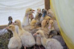 Group of baby ducks locked in the paddock Stock Photo