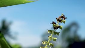 BEES IN SKY. A group of small bees pollinating the flowers of Basil plant with the sky in the background, shown in the video 1080p stock video footage