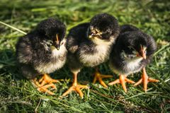 Three little black chickens in green grass. royalty free stock photo
