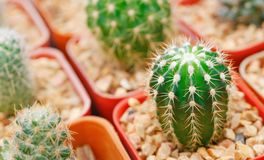 Group of small cactus grow in the pot stock photo
