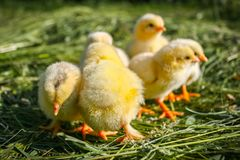 Group of small chickens in the grass. royalty free stock image